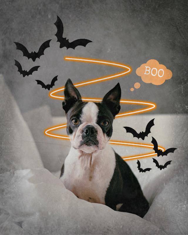 #freetoedit #halloween #halloweenparty #boo #dog #dogedit #petedits #petlove #spooky #orange #orangeaesthetic #bats