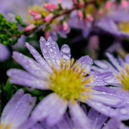 photography photooftheday myphoto flowers waterdrops freetoedit