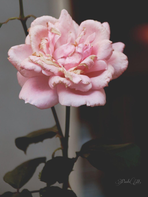 #freetoedit #flowers #roses #nature #love #naturephotography