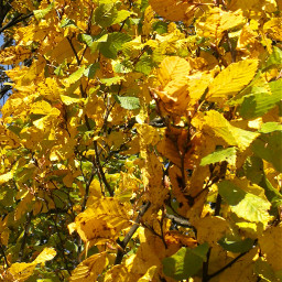 freetoedit leaves yellow colourful autumn