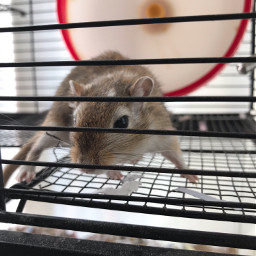 freetoedit cute gerbil