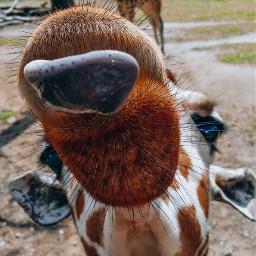 pclookdown lookdown giraffe tongue tongueout