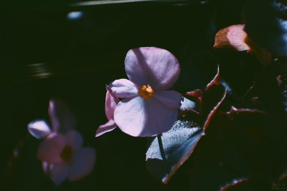 #freetoedit #myphotography #myphoto #nature #flower #drama #peddles #picsart #sun #nikon #beautiful #dramatic #leaf #grass #myoriginalphoto #shadow #light