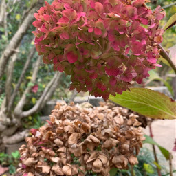 naturalbeauty fall hydrangeas myphotography mygardenflower