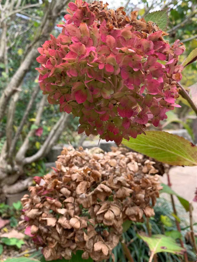 Finding unexpected beauty in the messiness of fall.  Like life, we need to slow down and embrace the messy parts of life. #naturalbeauty #fall #hydrangeas #myphotography #mygardenflower