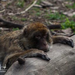 freetoedit ape monkey sleeping animal