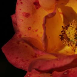 freetoedit colourful orange rose nature