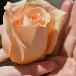 rose hand myhand peachrose love freetoedit
