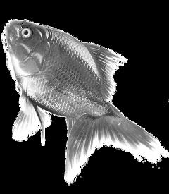 glass goldfish fish freetoedit