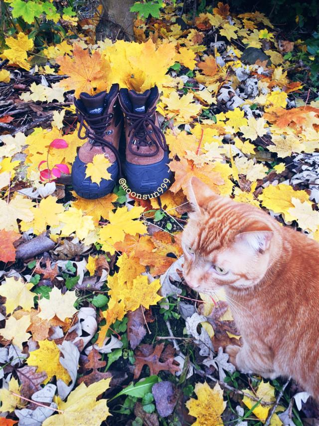 #freetoedit #autumn #cat #petsandanimals #myclick