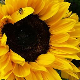 snapshot beautiful sunflower housefly naturelover