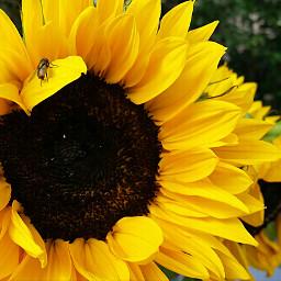snapshot beautiful yellow sunflower dirty