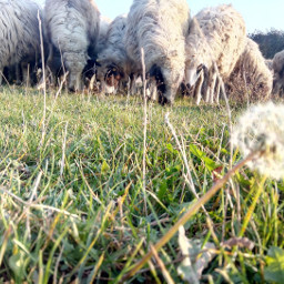 myphotography benimkadrajım sheeps amazing happyday freetoedit