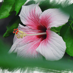 myphotography barbados flower hibiscus throughthetrees
