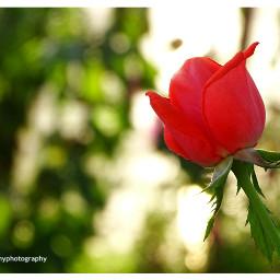 freetoedit followme follow4like flowers rose