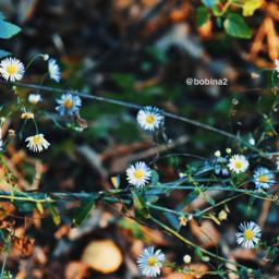 freetoedit photography nature wildflowers