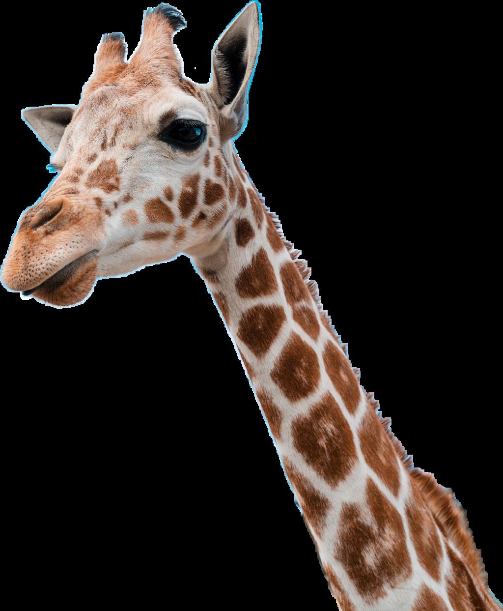 #giraffe #girafe # #dubrootsgirlremix