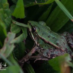 freetoedit frog green petsandanimals wildlife