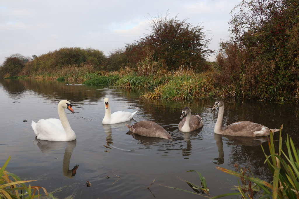 Just a family of Swans #nature #swans #canal #birds #closeup #lowangle #outandabout  #freetoedit