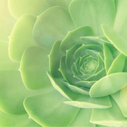 succulentplants myfaves nature succulent sunnylight bokeh highangleview naturephotography freetoedit
