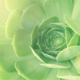 succulentplants myfaves nature succulent sunnylight freetoedit