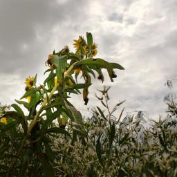 nature naturephotography myphoto weeds cloudyday freetoedit