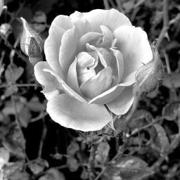 freetoedit blackandwhitephotography roses flowers inmyneighborhood