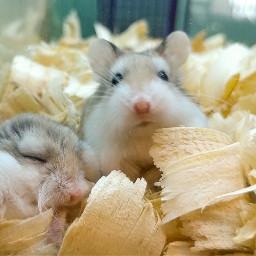 robodwarfhamsters mini hamsters tiny petshop freetoedit