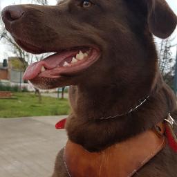 dogislove animalbeauty labrador