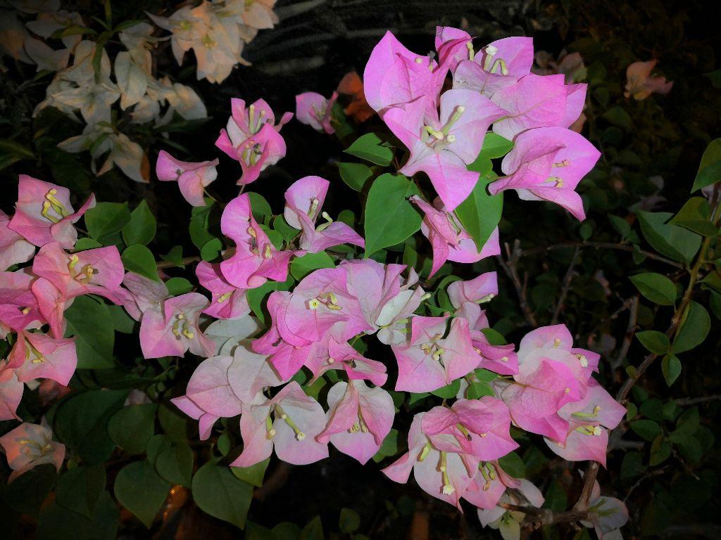 Night shot 😎 A unknown flower 💚 #myphongraphy #phongraphy  #photoshot #me #noedit #original @picsart @freetoedit  20/9/2019, 6:21 AM