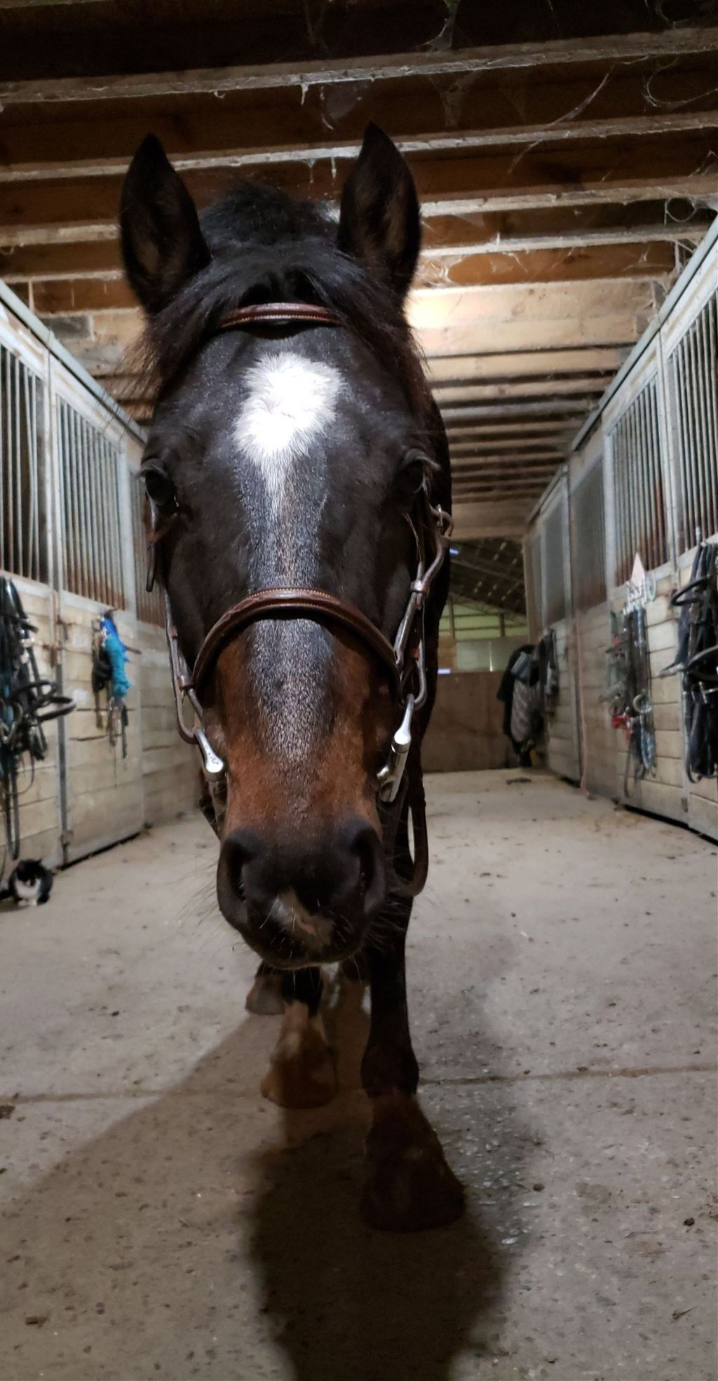 Gibby last night. We had our lesson bareback for no-stirrup November. Do you guys participate in no-stirrup November? #pony #gibson #horse #november
