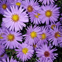 freetoedit freetoedit bunia0914 myphoto flowers autumn garden mygarden nature myphotography fall endofthesummer purple chrysanthemum nightphoto