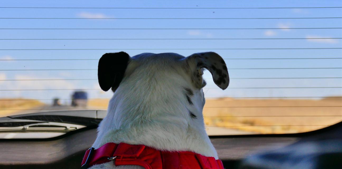 RoadTrip #someoneinthewindow#angeleyesimages#dog#dogs#pet#pets#instagram#instagramers#instagrammers#picsart#picsartist#picoftheday#nikon#nikonusa#canon#canonusa