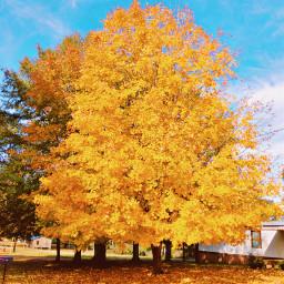 freetoedit fall autumn colorful tree yellow gold myphoto nature outdoors natutelover remixit