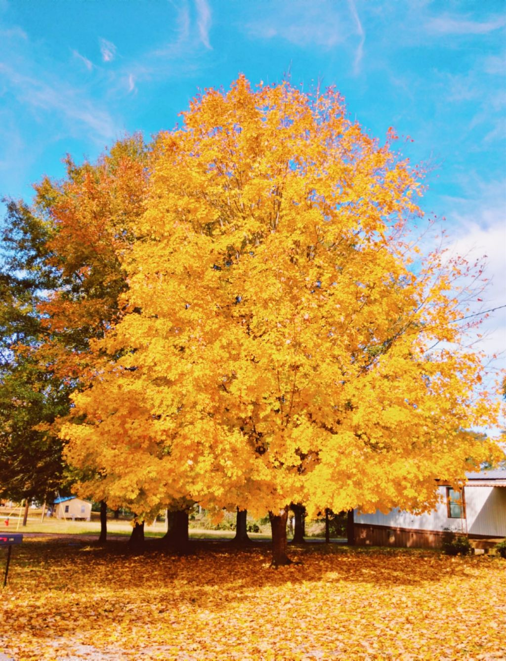 Fall colors - #freetoedit #fall #autumn #colorful #tree #yellow #gold #myphoto #nature #outdoors #natutelover #remixit
