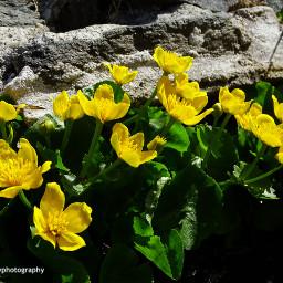 freetoedit followme yellowflowers montain forest