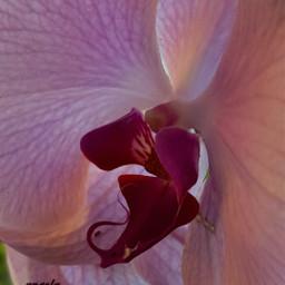 freetoedit flover closeup orchidea myphoto