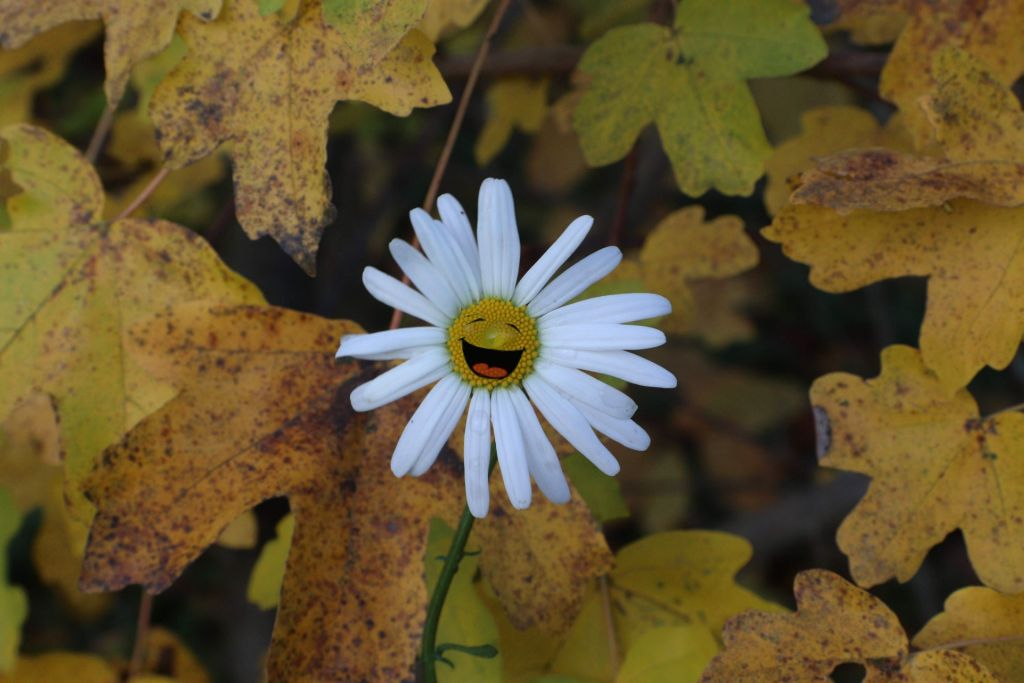 Happy Sunday my fellow Picsartist's have an excellent day #daisy #leaves #flower #stickers #happiness #freetoedit