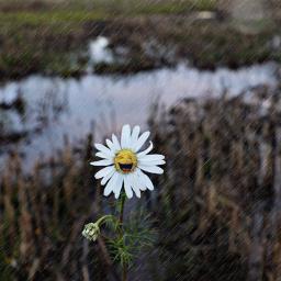 daisy flower rainyday texturemask stickers freetoedit