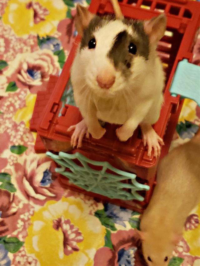 Meet Domino 😊,  1 of my little guys, he's so sweet 😊❤😊
