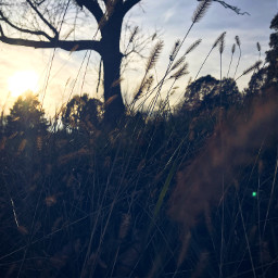 tree grass sun sunset focus freetoedit