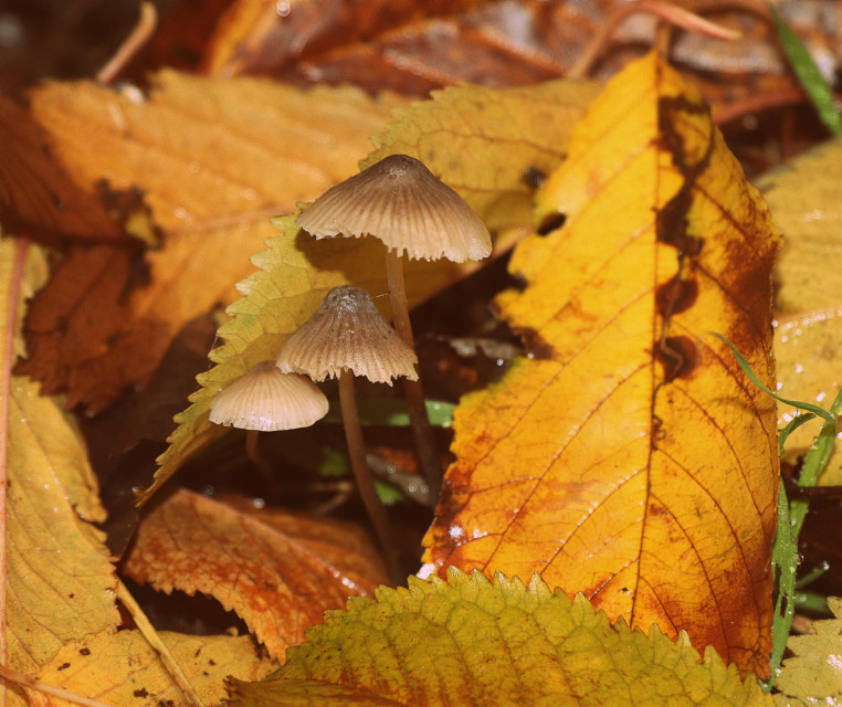 Spotted these mushrooms poking out from under the leaves #nature #leaves #colourful #mushrooms #outandabout  #freetoedit