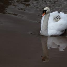 nature swan canal dramaeffect outandabout freetoedit
