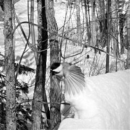 chickadee snow nature cold freetoedit
