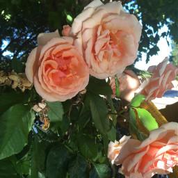 roses thelastroseofsummer freetoedit
