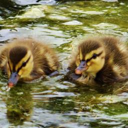freetoedit ducks ducksswimming duckphotography outdoors