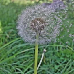 plants green dandelion
