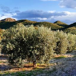 olivetrees trees beautifulnature beautifulsky spain