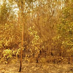fireaftermath gumtrees australia bushfire