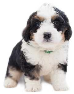 dog puppy freetoedit